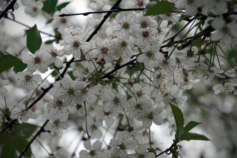 Ανθίζοντας κήπος Άσπρα λουλούδια των οπωρωφόρων δέντρων o Μάιος Κεράσι στοκ φωτογραφίες