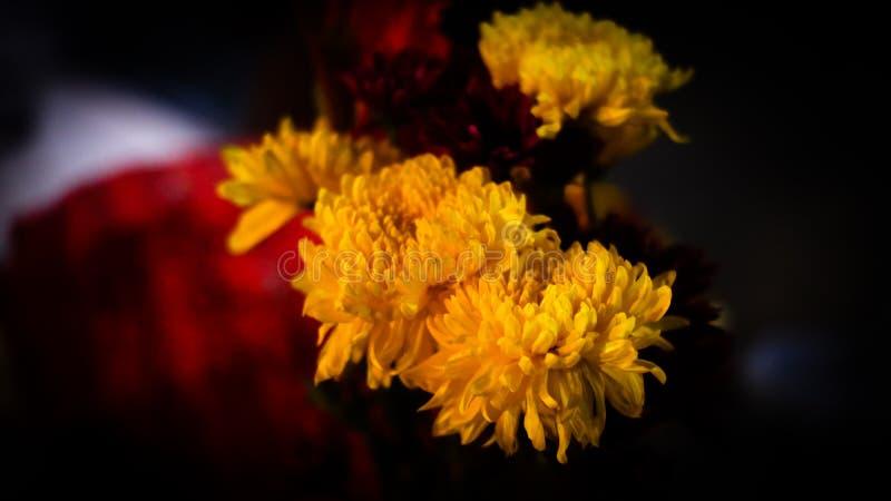 Ανθίζοντας κίτρινα λουλούδια χρυσάνθεμων στοκ εικόνα με δικαίωμα ελεύθερης χρήσης