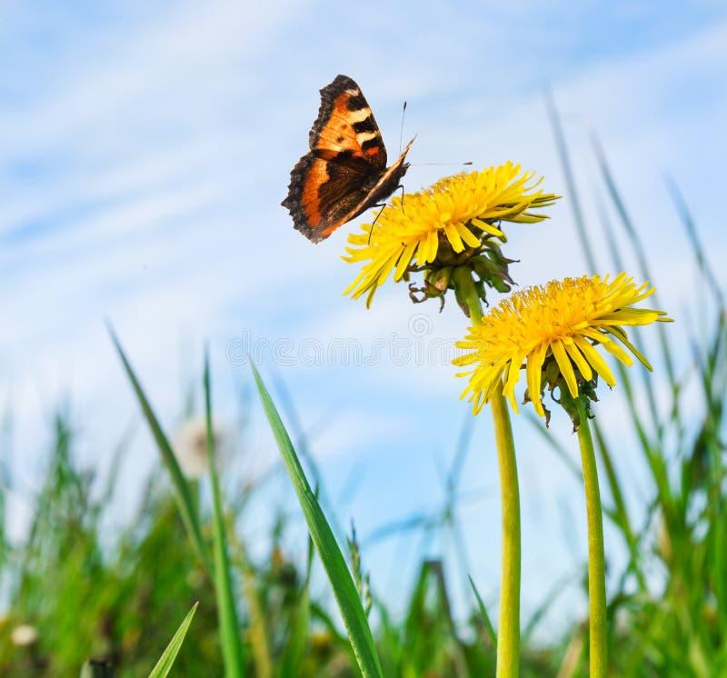 Ανθίζοντας κίτρινες πικραλίδες και πεταλούδα ενάντια στο μπλε ουρανό στοκ φωτογραφία