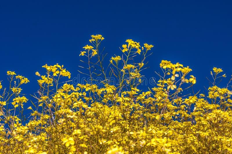 Ανθίζοντας κίτρινος τομέας λουλουδιών του όμορφου ελβετικού τοπίου στοκ εικόνα