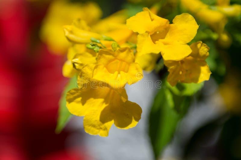 Ανθίζοντας κίτρινο κουδούνι, κίτρινος παλαιότερος, άμπελος σαλπίγγων στοκ εικόνα με δικαίωμα ελεύθερης χρήσης