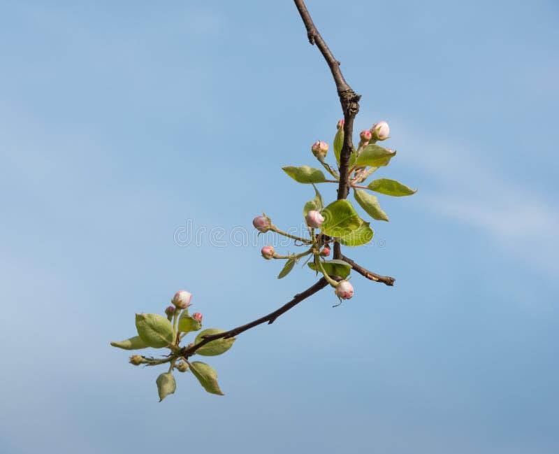 Ανθίζοντας και βλαστάνοντας κλάδος ενός δέντρου μηλιάς στοκ εικόνα