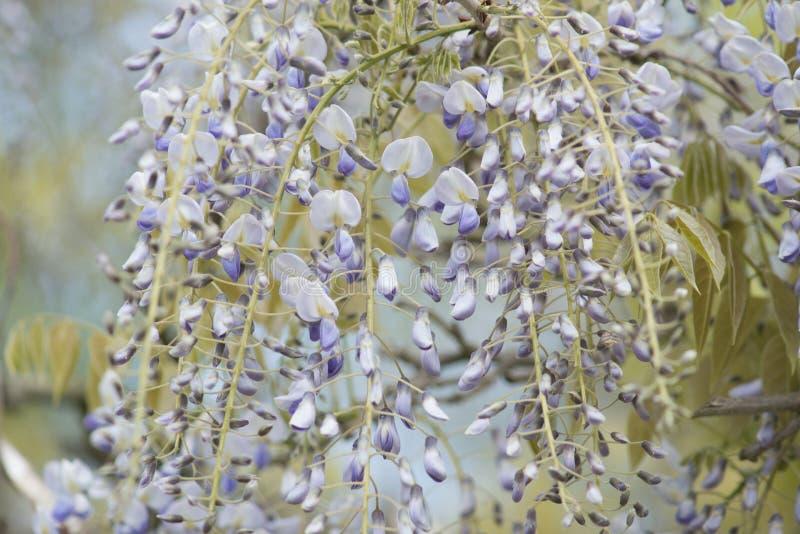 Ανθίζοντας κινηματογράφηση σε πρώτο πλάνο λουλουδιών Wisteria στοκ φωτογραφία με δικαίωμα ελεύθερης χρήσης