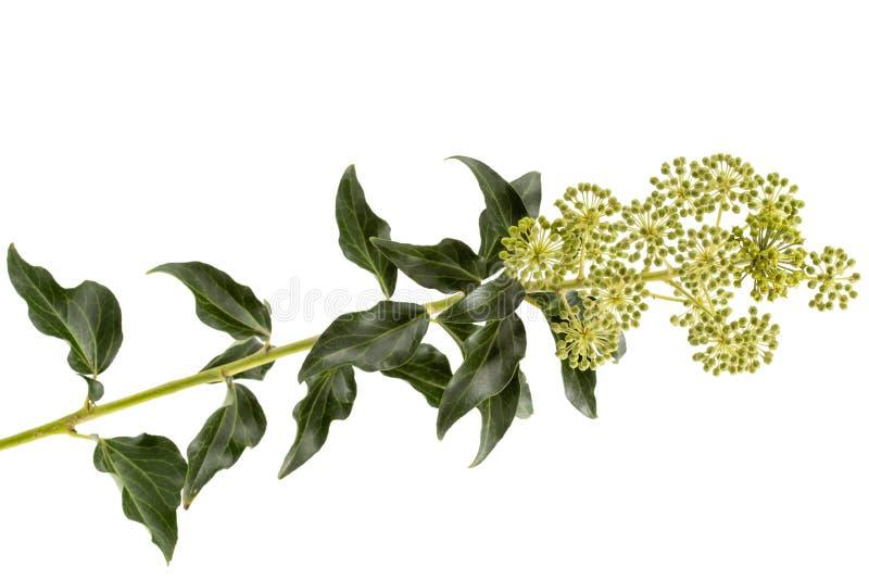Ανθίζοντας κισσός, κλάδος με τις επανθίσεις και τα πράσινα φύλλα, που απομονώνονται στο άσπρο υπόβαθρο στοκ φωτογραφίες