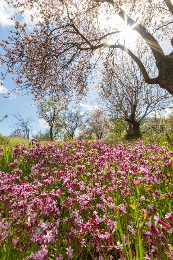 Ανθίζοντας κλάδοι αμυγδαλιών και πορφυρά λουλούδια σε έναν τομέα du στοκ εικόνα με δικαίωμα ελεύθερης χρήσης