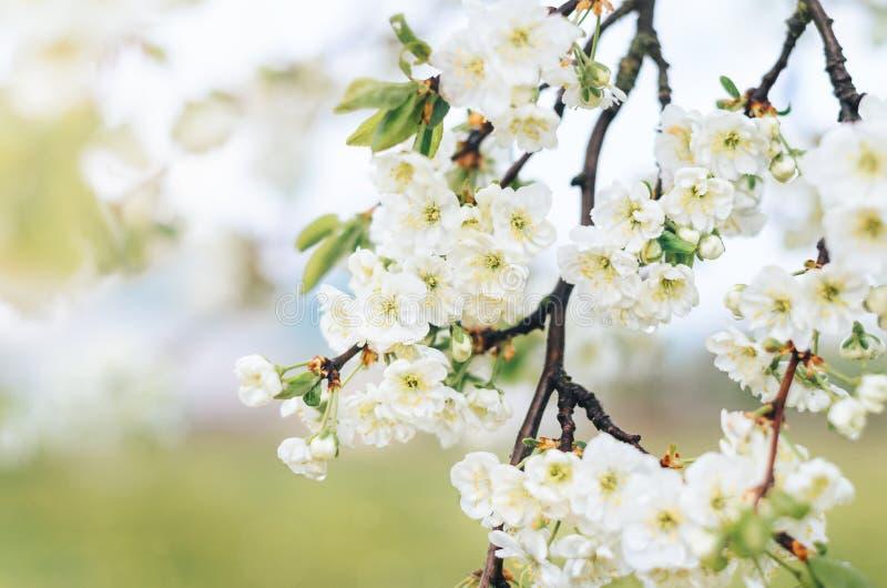 Ανθίζοντας κλάδοι του δέντρου δαμάσκηνων με τα άσπρα λουλούδια στον οπωρώνα στοκ εικόνα