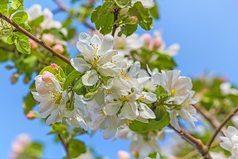 Ανθίζοντας κλάδοι του Apple-δέντρου σε έναν κήπο άνοιξη, κινηματογράφηση σε πρώτο πλάνο στοκ εικόνες
