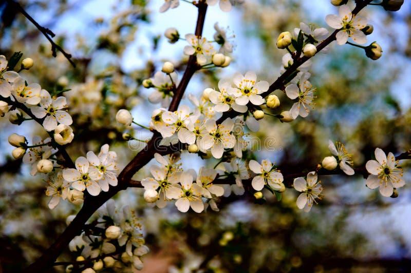 Ανθίζοντας κλάδος δέντρων μηλιάς με τα άσπρα λουλούδια στην κινηματογράφηση σε πρώτο πλάνο υποβάθρου μπλε ουρανού στοκ εικόνες