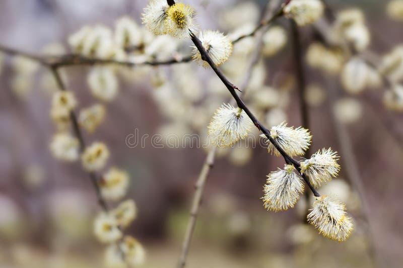 Ανθίζοντας ανθίζοντας κλάδος ιτιών γατών catkin Όμορφο floral υπόβαθρο άνοιξη μακρο άποψη, ρηχό βάθος του τομέα στοκ φωτογραφία