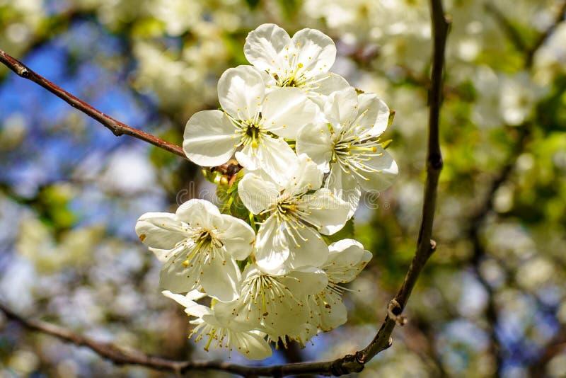 Ανθίζοντας κλάδος κερασιών με τα όμορφα ανθίζοντας άσπρα λουλούδια και τα νέα πράσινα φύλλα ενάντια στο μπλε ουρανό στον κήπο την στοκ φωτογραφίες