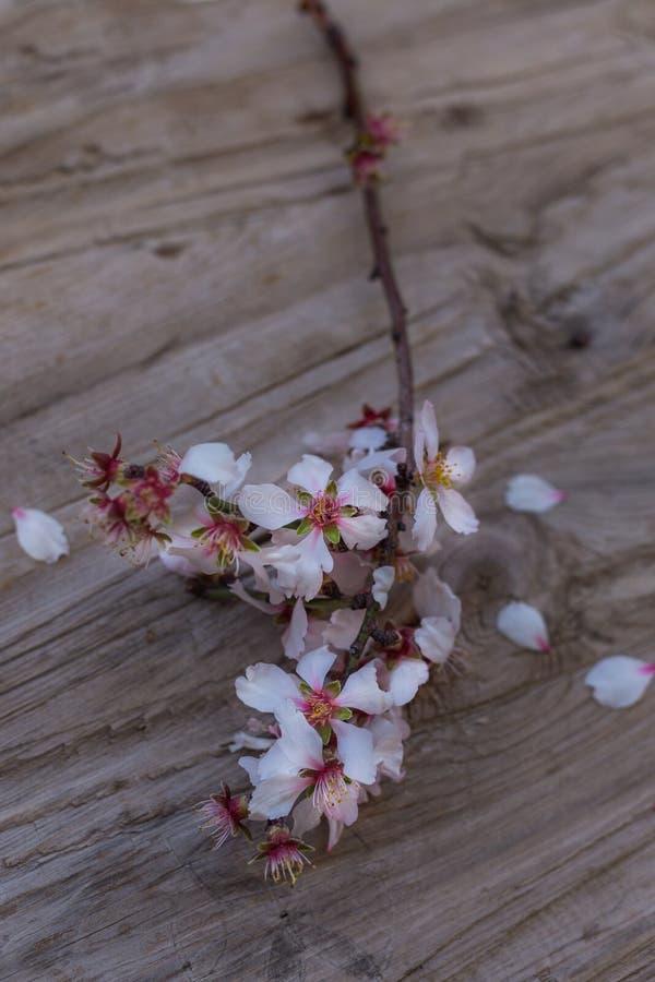 Ανθίζοντας κλάδος του αμυγδάλου αγροτικό tabletop στοκ εικόνες