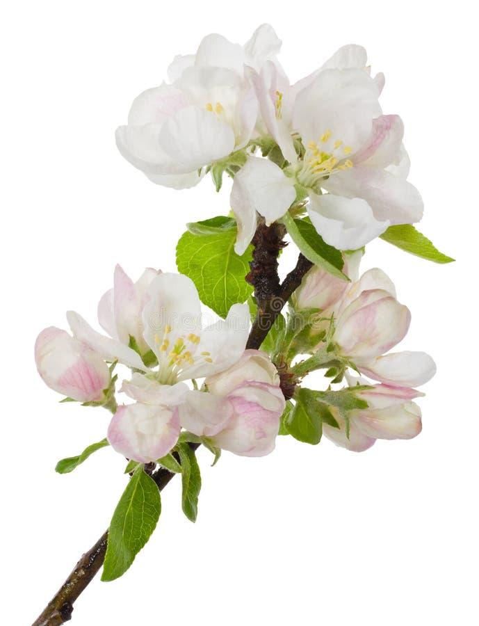Ανθίζοντας κλάδος του δέντρου μηλιάς στοκ εικόνες με δικαίωμα ελεύθερης χρήσης