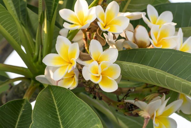 Ανθίζοντας κλάδος plumeria Άσπρα και κίτρινα λουλούδια plumeria Floral θερινό υπόβαθρο κήπων στοκ εικόνες με δικαίωμα ελεύθερης χρήσης