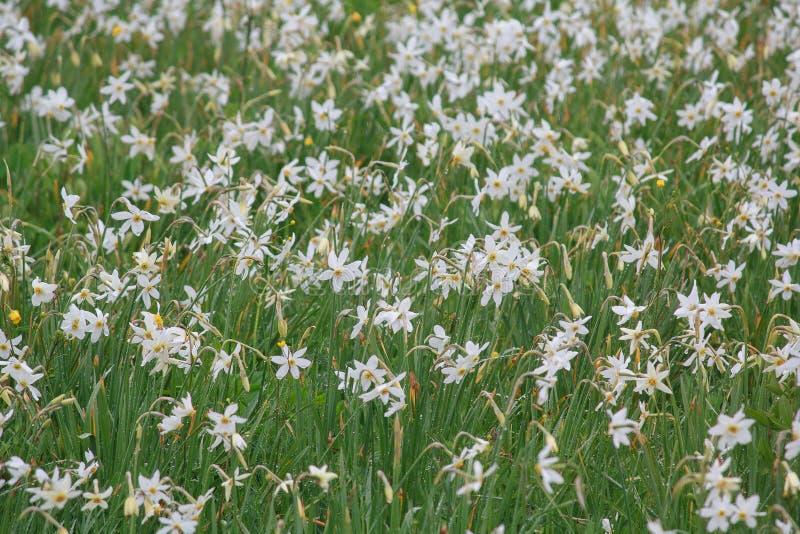 Ανθίζοντας κοιλάδα των daffodils στη βροχή στοκ φωτογραφία με δικαίωμα ελεύθερης χρήσης