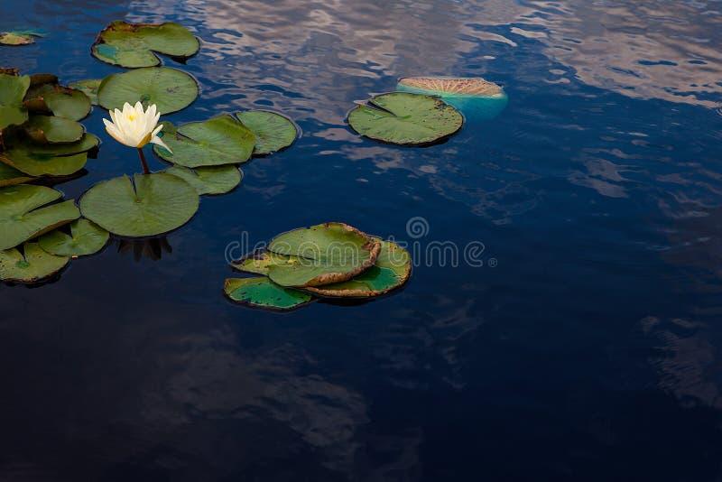 Ανθίζοντας κρίνος νερού στη μικρή λίμνη με τον ουρανό που απεικονίζεται στοκ φωτογραφία