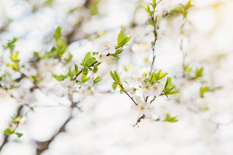 Ανθίζοντας κλάδοι δέντρων με τα άσπρα λουλούδια και τα πράσινα φύλλα Spri στοκ εικόνες με δικαίωμα ελεύθερης χρήσης