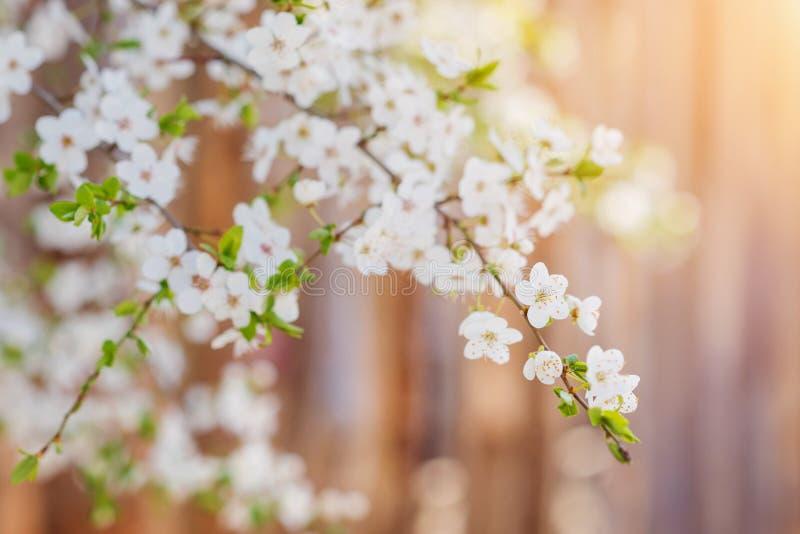 Ανθίζοντας κλάδοι δέντρων με τα άσπρα λουλούδια και τα φύλλα Άνοιξη στοκ εικόνα με δικαίωμα ελεύθερης χρήσης