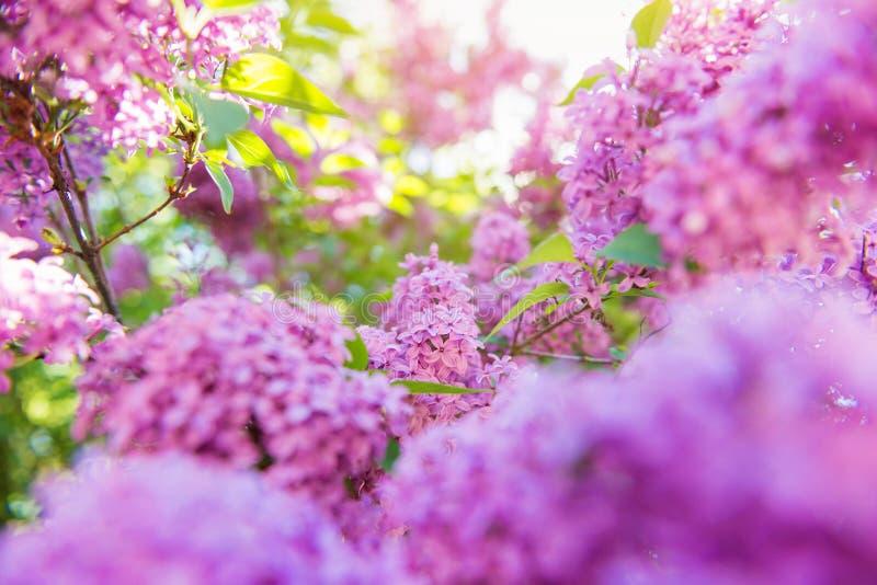 Ανθίζοντας κλάδοι δέντρων με τα ιώδη ιώδη λουλούδια Άνοιξη S στοκ εικόνες