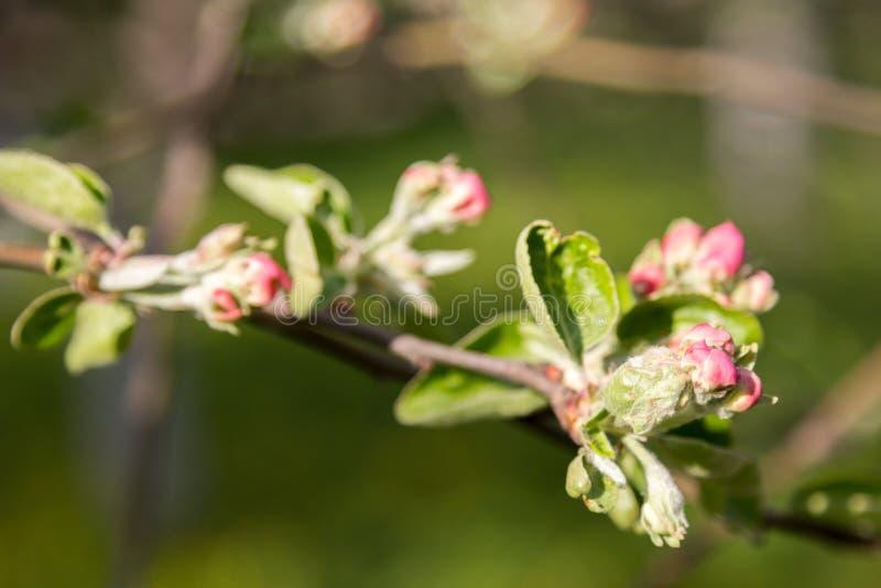 Ανθίζοντας κλάδοι των δέντρων μηλιάς στον πράσινο κήπο στοκ φωτογραφίες με δικαίωμα ελεύθερης χρήσης
