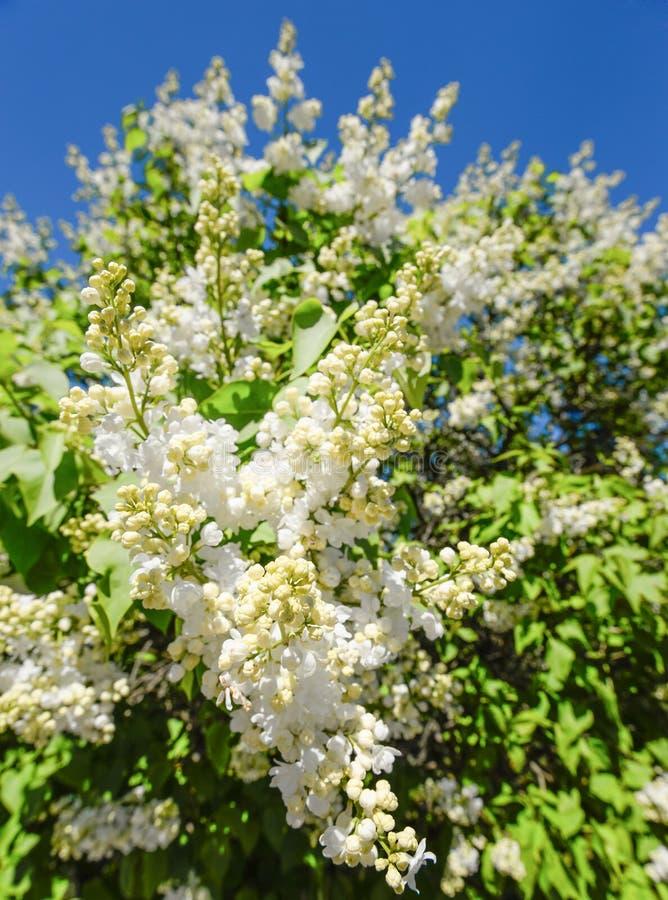 Ανθίζοντας κλάδος μιας άσπρης ιώδους κινηματογράφησης σε πρώτο πλάνο Φυσικό υπόβαθρο φιαγμένο από άσπρους ιώδεις λουλούδια και μπ στοκ εικόνα
