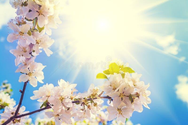 Ανθίζοντας κλάδος του δέντρου μηλιάς με τον ήλιο στον ουρανό στοκ εικόνες με δικαίωμα ελεύθερης χρήσης