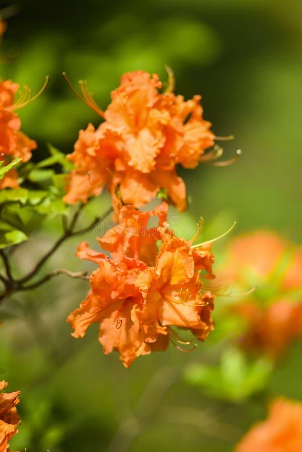 Ανθίζοντας λουλούδι αζαλεών άνοιξη πορτοκαλί στον κήπο στοκ εικόνες με δικαίωμα ελεύθερης χρήσης
