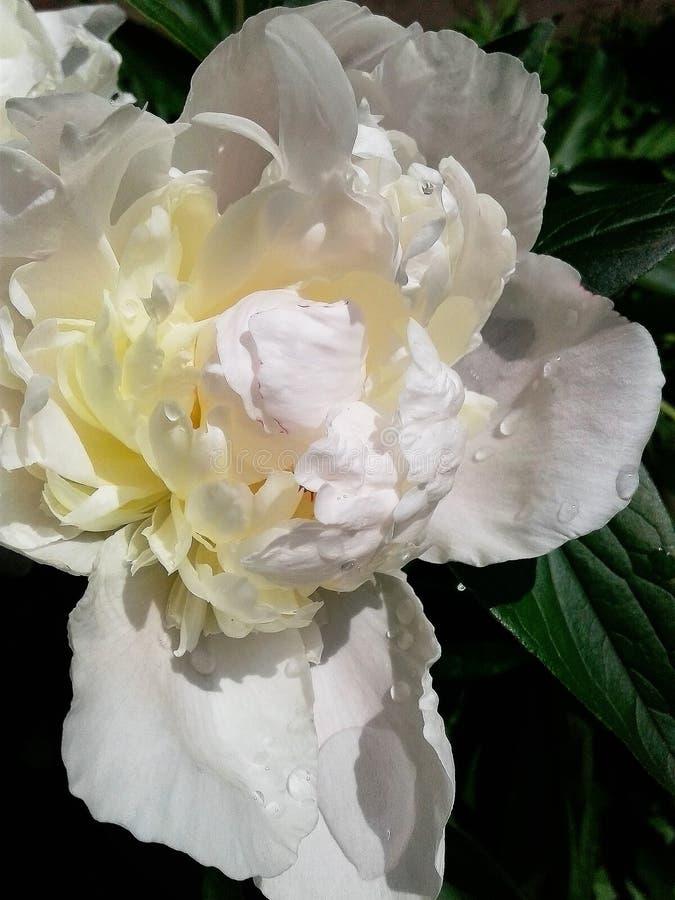 Ανθίζοντας λουλούδι Σταγόνες βροχής στα σκούρο πράσινο φύλλα των peonies Μεγάλες σταγόνες βροχής δροσιάς στα σκούρο πράσινο φύλλα στοκ εικόνα