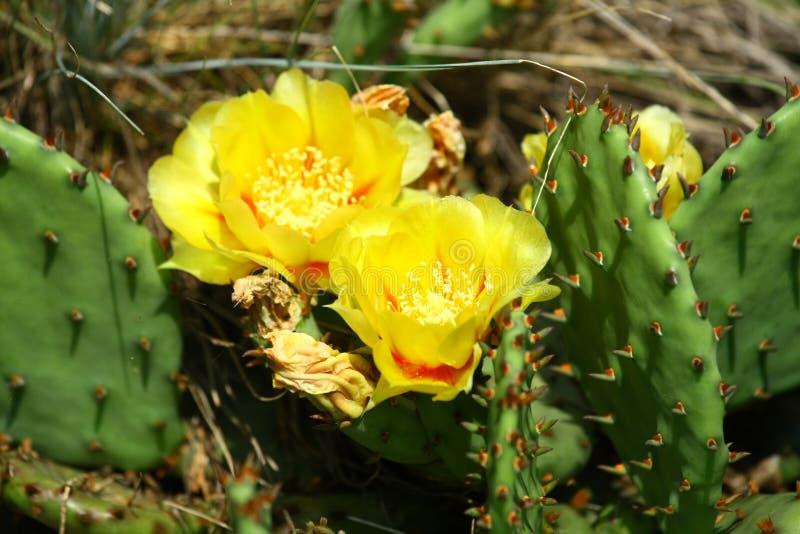 Ανθίζοντας λουλούδι τραχιών αχλαδιών στοκ εικόνες
