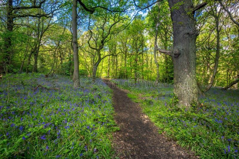Ανθίζοντας λουλούδι Bluebells την άνοιξη, Ηνωμένο Βασίλειο στοκ φωτογραφίες