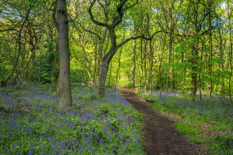 Ανθίζοντας λουλούδι Bluebells την άνοιξη, Ηνωμένο Βασίλειο στοκ φωτογραφία