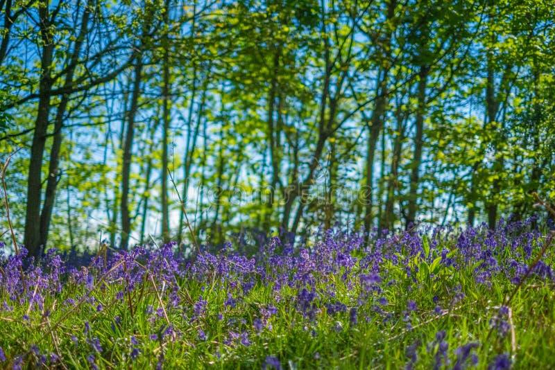 Ανθίζοντας λουλούδι Bluebells την άνοιξη, Ηνωμένο Βασίλειο στοκ εικόνες με δικαίωμα ελεύθερης χρήσης