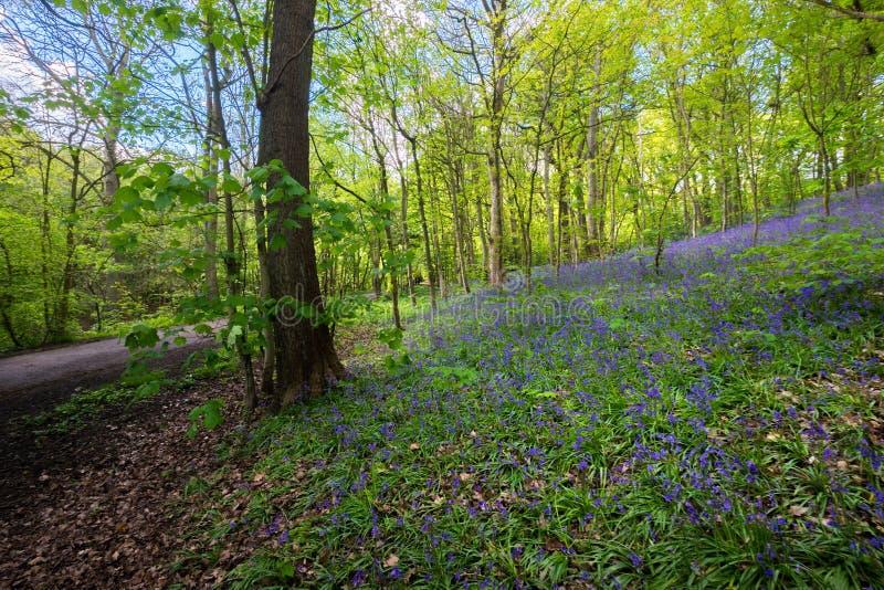 Ανθίζοντας λουλούδι Bluebells την άνοιξη, Ηνωμένο Βασίλειο στοκ εικόνα με δικαίωμα ελεύθερης χρήσης
