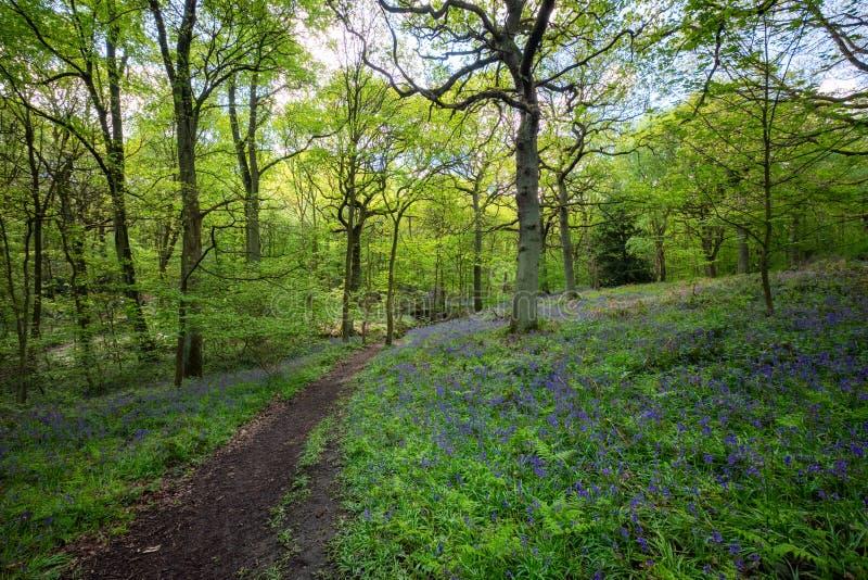 Ανθίζοντας λουλούδι Bluebells την άνοιξη, Ηνωμένο Βασίλειο στοκ εικόνες