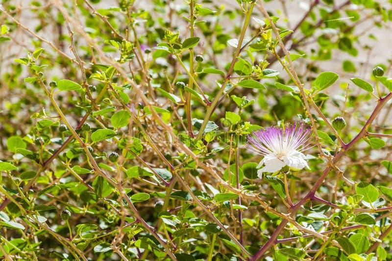 Ανθίζοντας λουλούδι Capparis στο θάμνο καπάρων στοκ φωτογραφία με δικαίωμα ελεύθερης χρήσης
