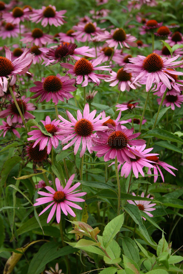 ανθίζοντας λουλούδι echinacea &ka στοκ φωτογραφία