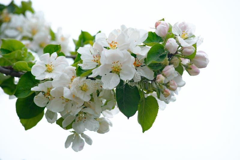 Ανθίζοντας μήλο Κλάδος του δέντρου μηλιάς στην άνθιση την άνοιξη E στοκ εικόνες με δικαίωμα ελεύθερης χρήσης