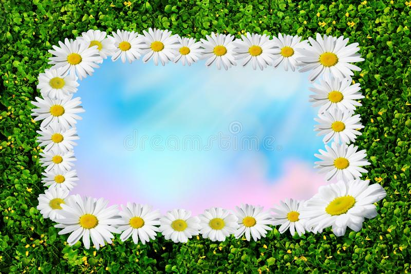 Ανθίζοντας μαργαρίτες άνοιξη, chamomiles στο λιβάδι, οικότροφος της Daisy με το διάστημα για το κείμενο στοκ φωτογραφία