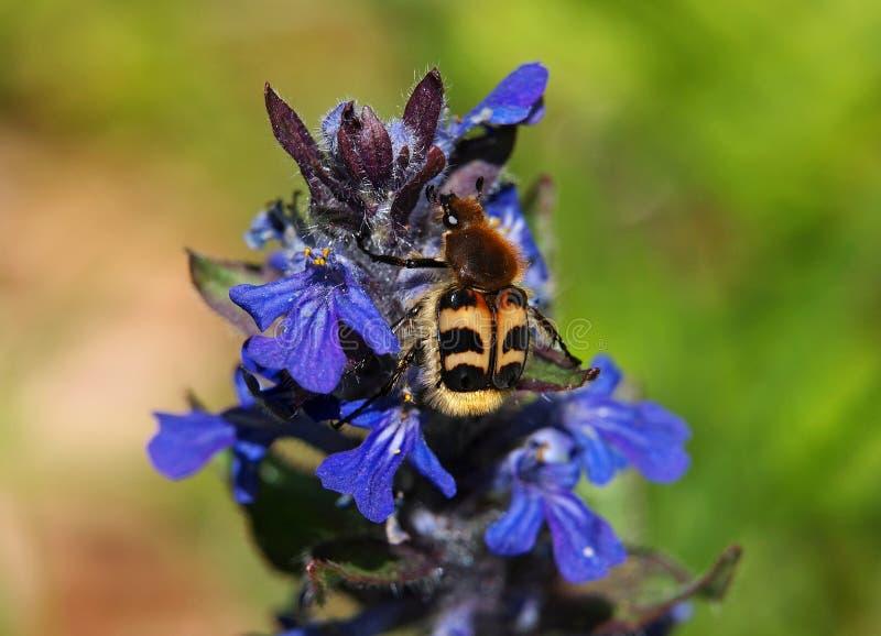 Ανθίζοντας μπλε σάλπιγγα με τον κάνθαρο μελισσών σε το στοκ εικόνα με δικαίωμα ελεύθερης χρήσης