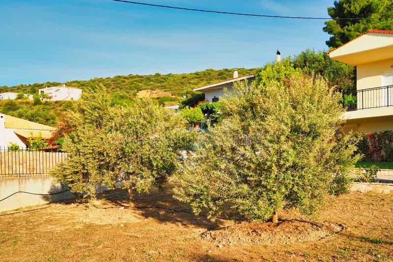 Ανθίζοντας νέες ελιές στον εγχώριο κήπο, Ελλάδα στοκ φωτογραφία με δικαίωμα ελεύθερης χρήσης