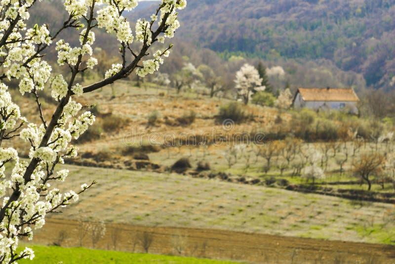 Ανθίζοντας οπωρωφόρο δέντρο με ένα χωριό στο υπόβαθρο στοκ εικόνες
