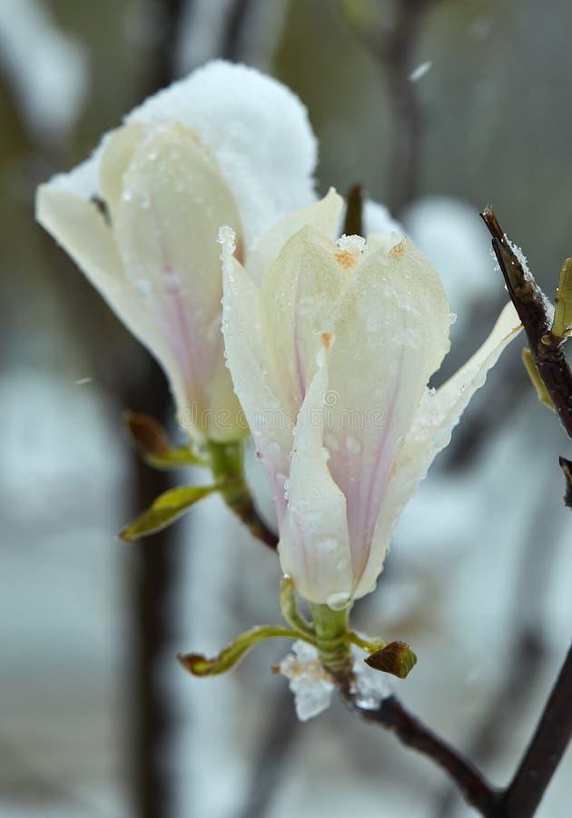Ανθίζοντας λουλούδια Magnolia που επηρεάζονται από τον παγετό στοκ εικόνες