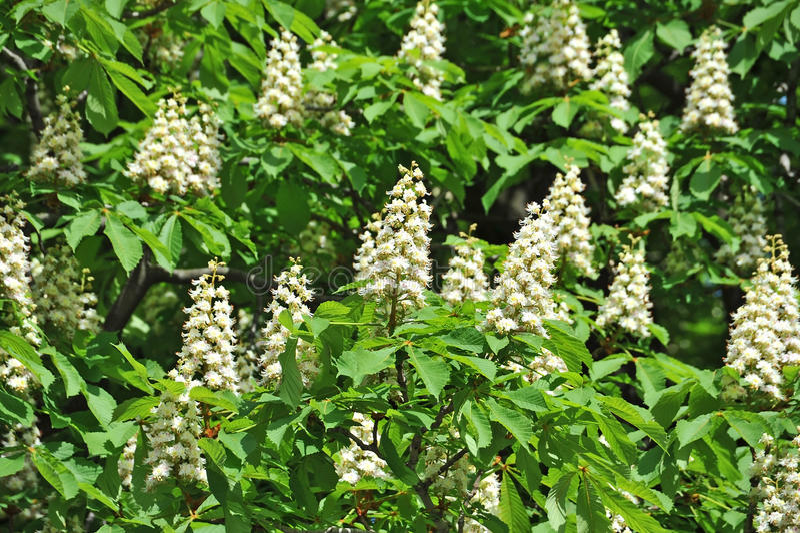 Ανθίζοντας λουλούδι κάστανων άνοιξη (Castanea sativa) στοκ εικόνα