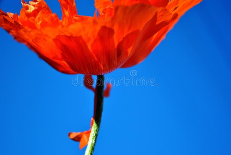 Ανθίζοντας παπαρούνα κόκκινος-κοραλλιών, άποψη λεπτομέρειας κινηματογραφήσεων σε πρώτο πλάνο από το έδαφος στην κορυφή, μπλε ουρα στοκ εικόνες