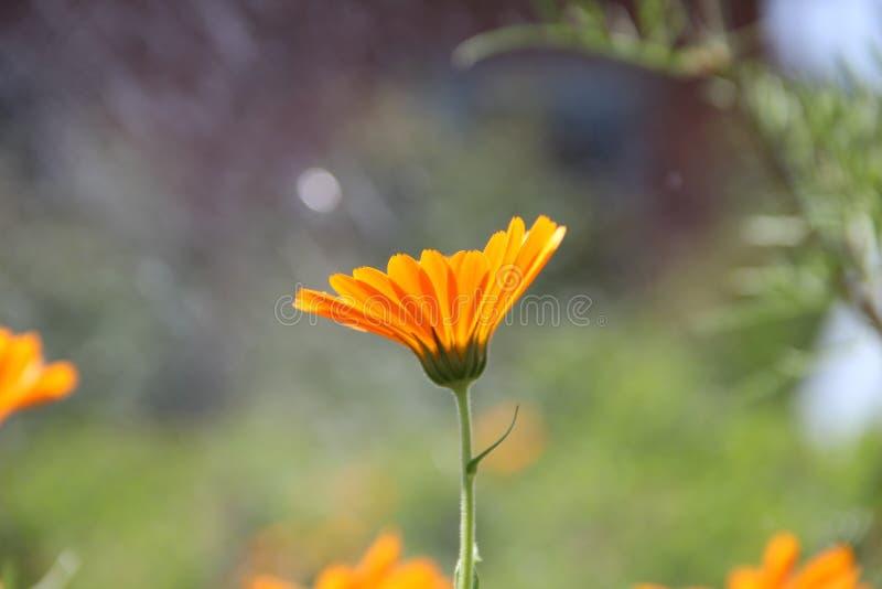 ανθίζοντας πορτοκάλι λουλουδιών στοκ φωτογραφία με δικαίωμα ελεύθερης χρήσης