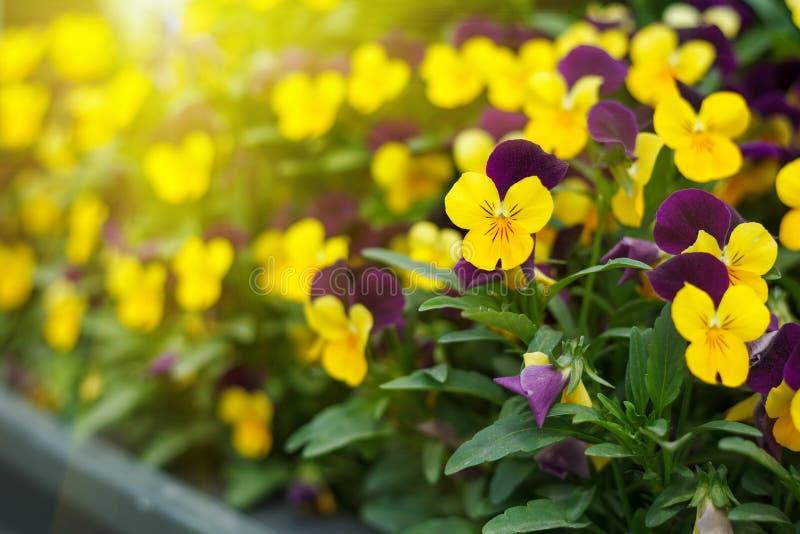 Ανθίζοντας πορφυρά pansies στον κήπο ως floral υπόβαθρο στοκ εικόνες