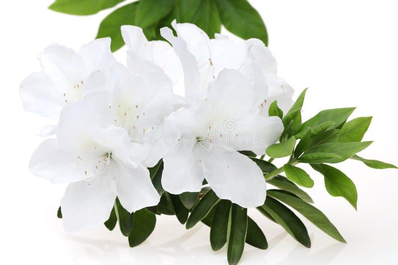 Ανθίζοντας πορφυρό λουλούδι αζαλεών στοκ φωτογραφίες