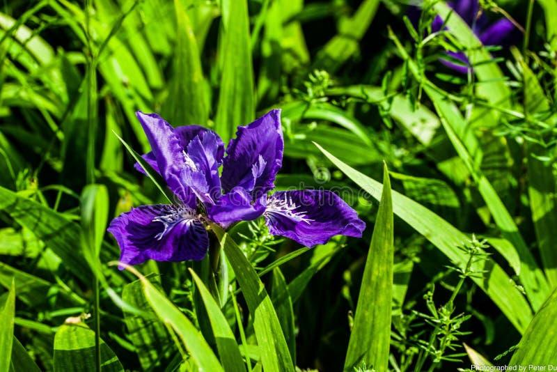Ανθίζοντας πορφυρό λουλούδι στοκ εικόνες