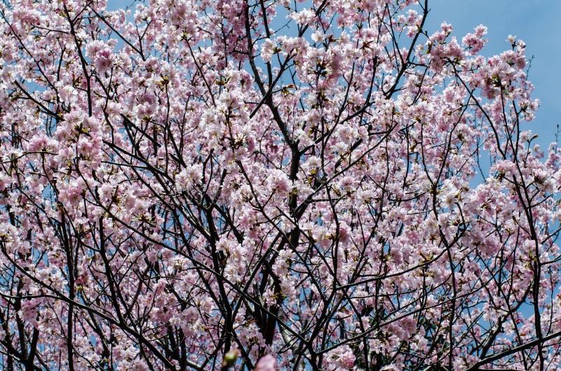 Ανθίζοντας ρόδινα λουλούδια στους κλάδους δέντρων κερασιών ενάντια στο μπλε ουρανό στοκ εικόνες με δικαίωμα ελεύθερης χρήσης