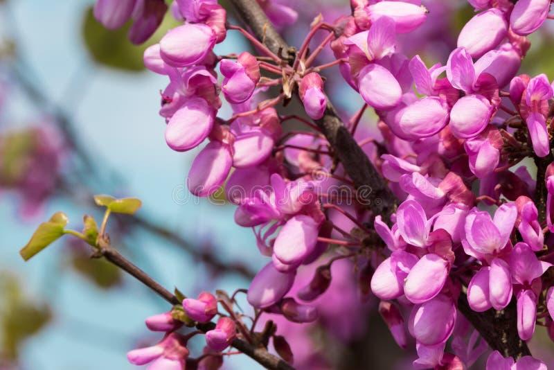 Ανθίζοντας ρόδινα όμορφα λουλούδια ακακιών την άνοιξη και θολωμένος μπλε ουρανός στο υπόβαθρο στοκ εικόνα με δικαίωμα ελεύθερης χρήσης