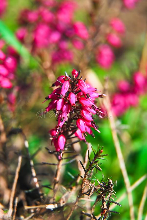 Ανθίζοντας ρόδινη ερείκη ή μόλβη Calluna λουλουδιών vulgaris στοκ φωτογραφία με δικαίωμα ελεύθερης χρήσης